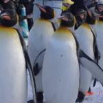 ペンギンの歩き方に学ぶ滑らないコツ!すり足がポイント